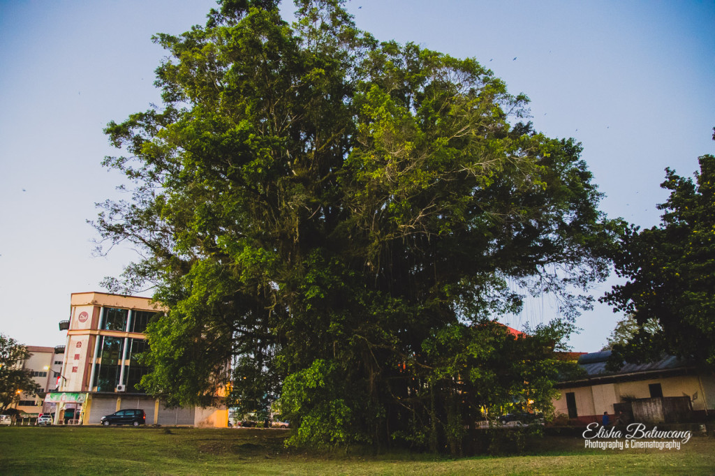 Fig Tree - Lawas Town